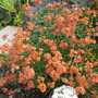 Erysimum Apricot Delight has flowered all summer (Erysimum Apricot Delight)