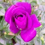 12_6_2.jpg (Rosa glauca (Shrub rose))