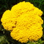 Achillea &#x27;Gold Plate&#x27; (Achillea filipendulina &#x27;Gold Plate&#x27;)