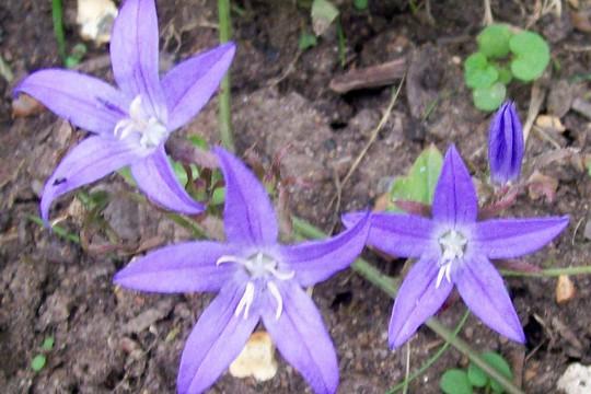 A garden flower photo (Campanula cochleariifolia (Fairies Thimbles))