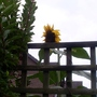 Neighbours sunflower