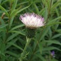 Cirsium japonicum 'Mount Etna' (Cirsium japonicum)