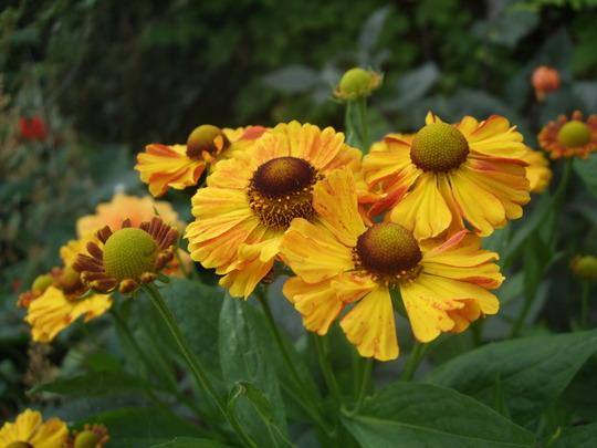 Helenium 'Waldtraut' (Helenium autumnale (American Sneezeweed))