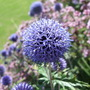 Echinops ritro &#x27;Veitch&#x27;s Blue&#x27; (Echinops ritro (Globe thistle))