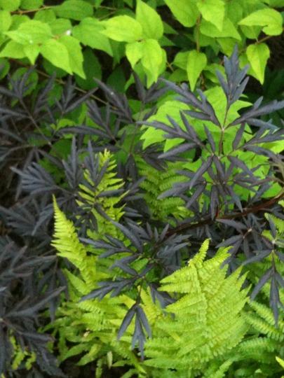 Sambucus nigra 'Black Lace' (Sambucus nigra 'Black Lace')