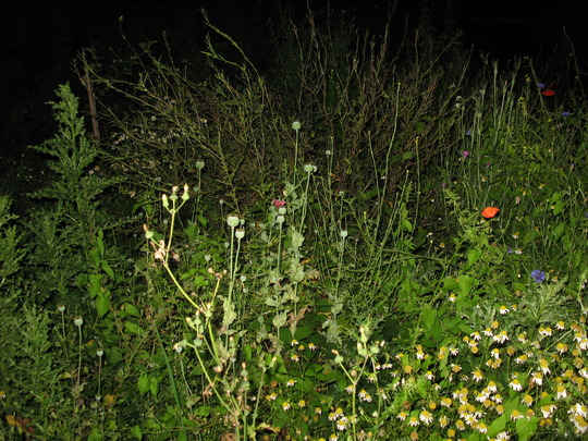 Finally a correct red, the lone poppy in wild flowers at night