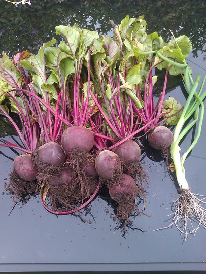 beetroot (Beta vulgaris (Beetroot))