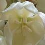 Inside a yucca flower