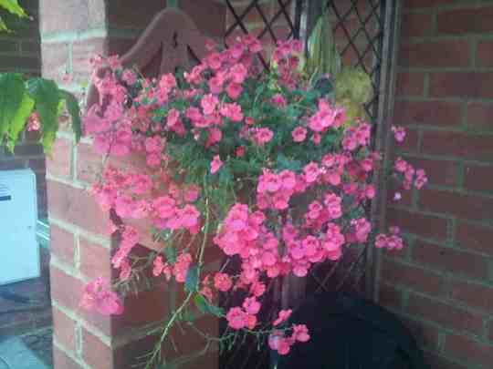 Diascia on my wall by porch