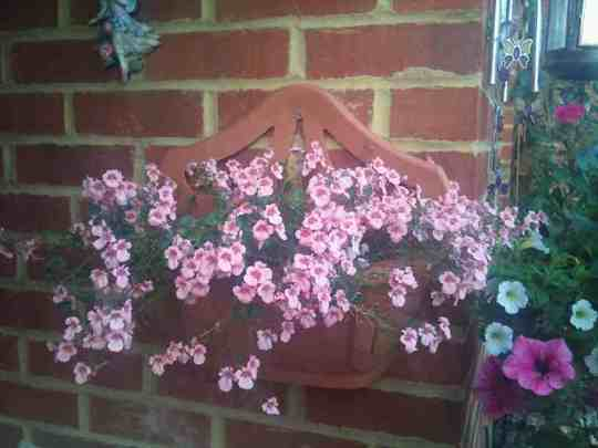 My other Diascia by porch