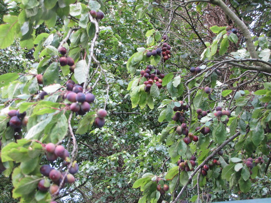A really good year for the damsons.
