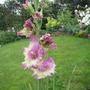 Gladiolus butterfly Belinda (Gladiolus)