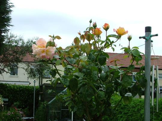 Peace  (Standard Rose)