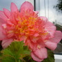 Pink Begonia
