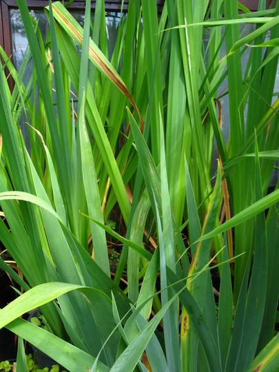 The fonds of the irises