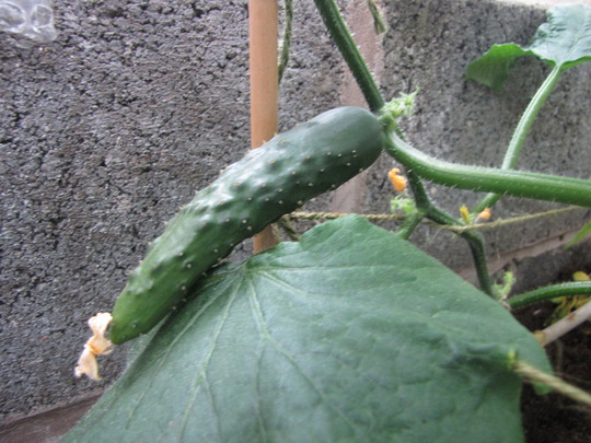 Cucumbers growing quickly now. (Cucumis sativus (Cucumber))