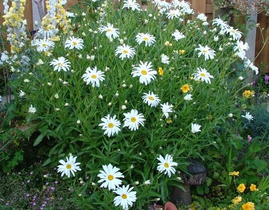Leucanthemum sub. 'Edgebrook Giant', (leucanthemum sub edgebrook giant)
