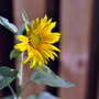 Today in my garden... (Helianthus annuus (Sunflower))