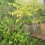 Koelreuteria_paniculata_golden_rain