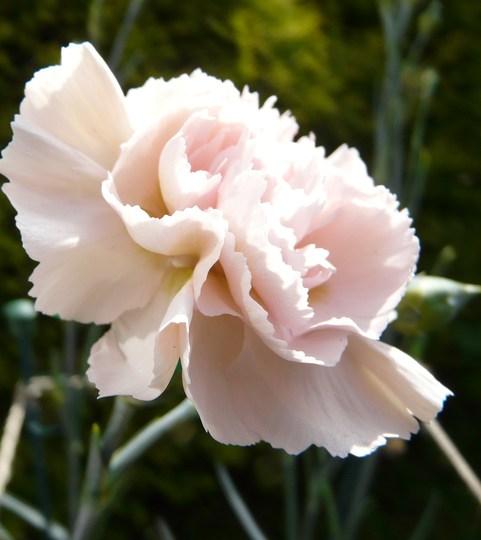 Dianthus 'Widdecombe Fair'