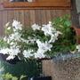 My Beautiful Longi Lillies
