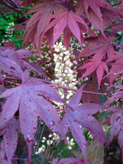 Heuchera 'Silver Scrolls' flower spike and Acer.