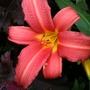 Hemerocallis_pink_damask_