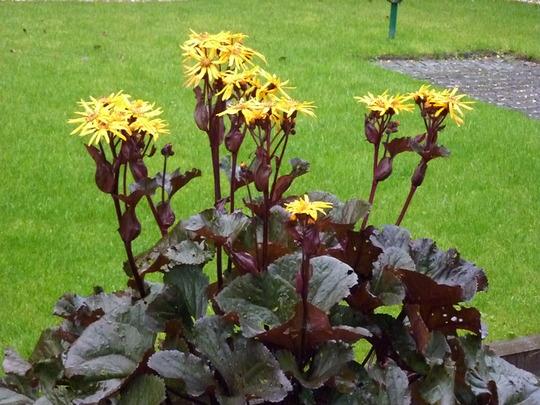 """Ligularia Dentata """"Othello"""". (Ligularia dentata (Golden groundsel))"""