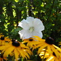 White Rose of Sharon with Black Eyed Susan's