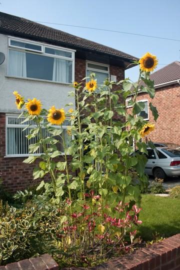 Front garden sunflowers
