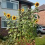 Front garden sunflowers