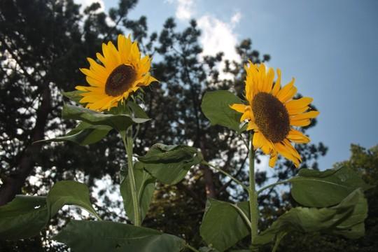 Russian Giant sunflowers (sunflower)