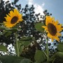Russian Giant sunflowers (sunflower)