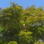 Radermachera sinica - China Doll Tree (Radermachera sinica - China Doll Tree)