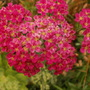 Achillea Millefolium 'summerberrys'