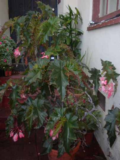 Begonia Angel Wing - Angel Wing Begonia  (Begonia Angel Wing - Angel Wing Begonia)