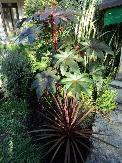 "Cordyline australis ""Red Star"" (bottom) (Cordyline australis (New Zealand cabbage palm))"
