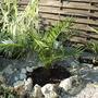 Phoenix  (Phoenix canariensis (Canary Island date palm))