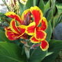 Canna indica (Indian shot plant)