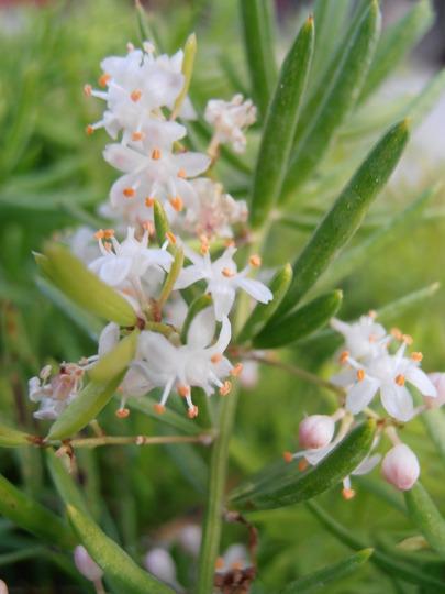 Asparagus fern   -flowers-