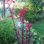 Lobelia Cardinal