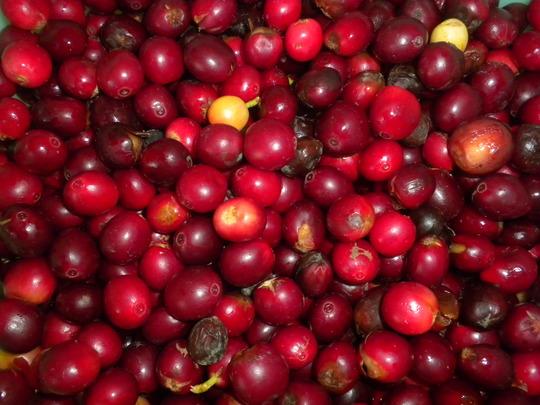 Coffea arabica - Coffee Cherries, Berries (Coffea arabica - Coffee Cherries, Berries)