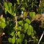 Ficus religiosa - Bodhi Tree, Sacred Fig (Ficus religiosa - Bodhi Tree, Sacred Fig)