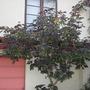 Jatropha gossipifolia - Bellyache Bush/Tree (Jatropha gossipifolia)