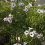 Pandorea jasminoides 'Variegata' - Variegated Bower Vine (Pandorea jasminoides 'Variegata' - Variegated Bower Vine)