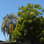 Brahea armata - Mexican Blue Palm (left) and Cassia leptophylla - Gold Medallion Tree (right) (Brahea armata - Mexican Blue Palm and Cassia leptophylla - Gold Medallion Trer)