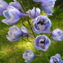 Delphinium elatum (Delphinium elatum (Delphinium))