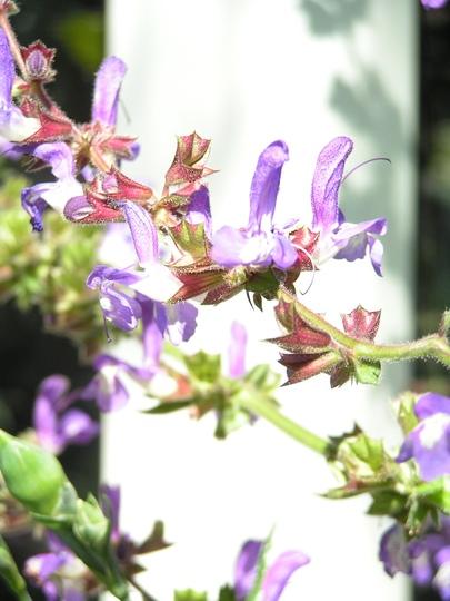 salvia forsskaolii (Salvia forsskaolii)