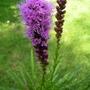 Liatris spicata (Liatris spicata 'Kobold')