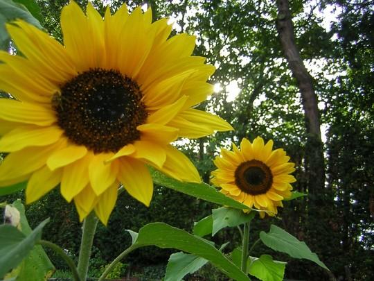 sunflower, russian giant (helianthus)